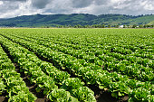 Rows of organic romaine lettuce growing on a central coast farm.