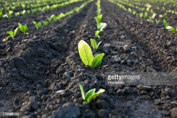 列の seedlings のフィールド