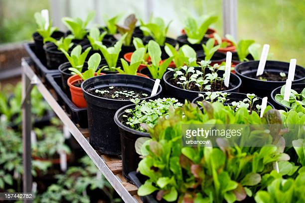 Rows of seedlings