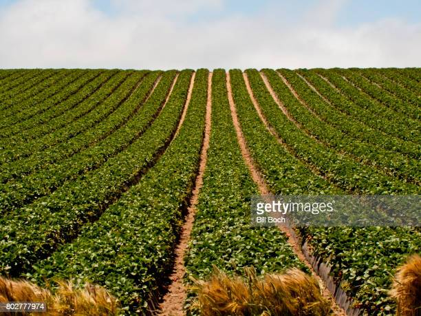 Rows of strawberries growing on a large commercial farm