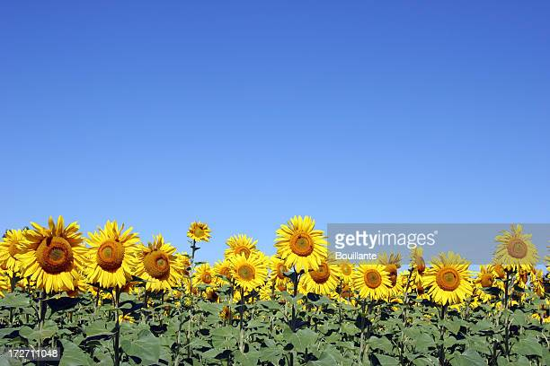 Rows of sunflowers in bloom on a sunny day