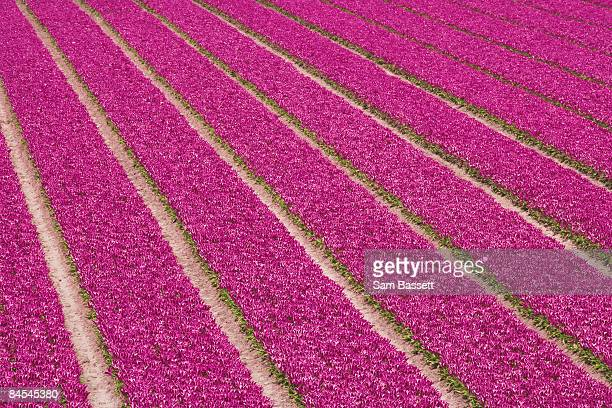 rows of tulips being cultivated