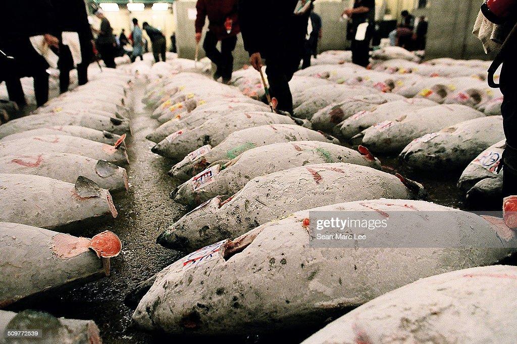 Rows of Tuna at the Tsukiji Fish Market