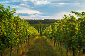 Rows of vineyards in summer, South Moravian Region, Czech Republic