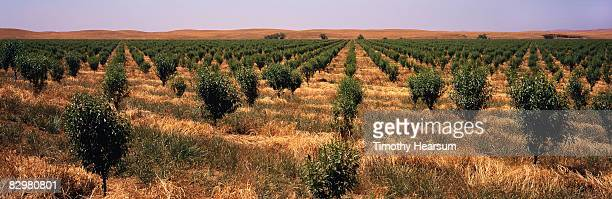 Rows of young almond trees