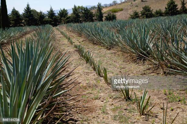 Rows of young and mid-growth blue agave plants