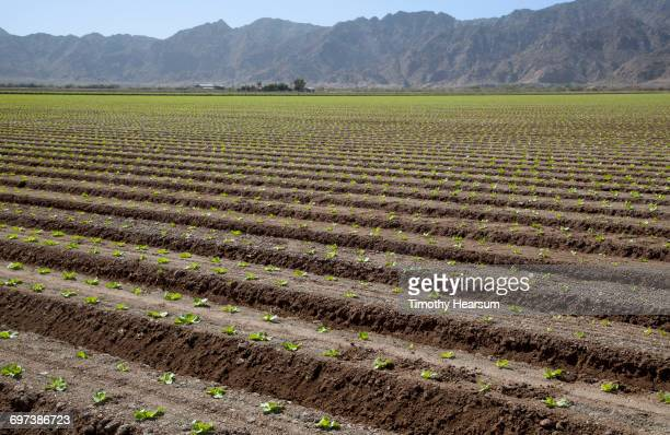 Rows of young lettuce plants; mountains beyond