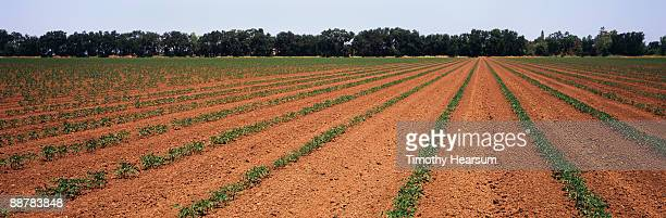 Rows of young tomato plants