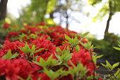 royal azalea blossom in Korea