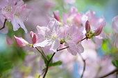 Filmed in Royal Azalea Flowers,in Tachikawa,Tokyo,Japan.