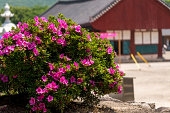 Royal Azalea blossoming in a traditional Korean temple