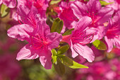 A bunch of royal azaleas bask in the sunlight.