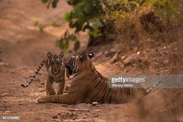 Royal Bengal tiger and cub in Ranthambhore