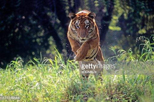 ロイヤル Bengal Tiger