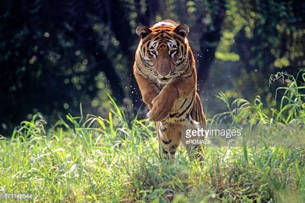 Royal Bengal Tiger jumping through long green grass