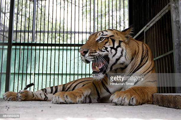 Royal Bengal Tiger which has been brought to at Delhi Zoo from Bhopal on April 15 2014 in New Delhi India