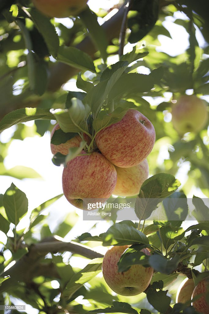 Royal gala apples in a tree : Stock Photo