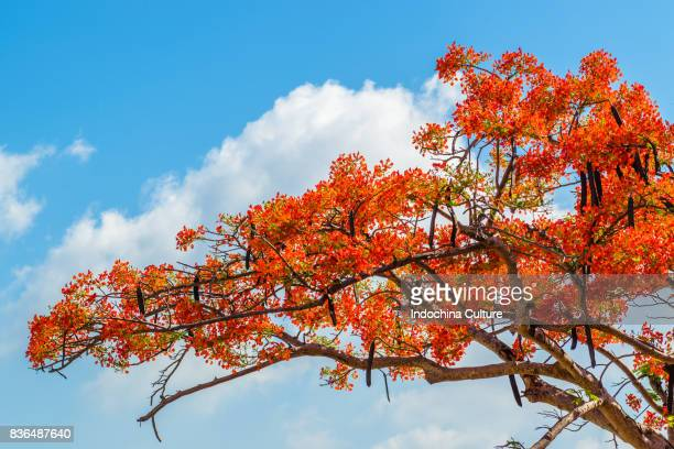 Royal poinciana blossoms In summer of Vietnam against deep blue sky