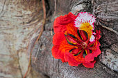 red Royal Poinciana or Flam-boyan flower