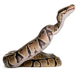 Royal python eating a mouse, ball python, Python regius, in front of white background