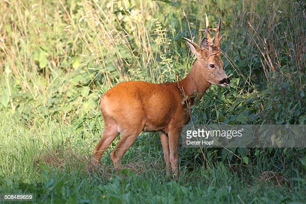 Royal Roebuck -Capreolus capreolus- in the red summer coat, Lower Austria, Austria