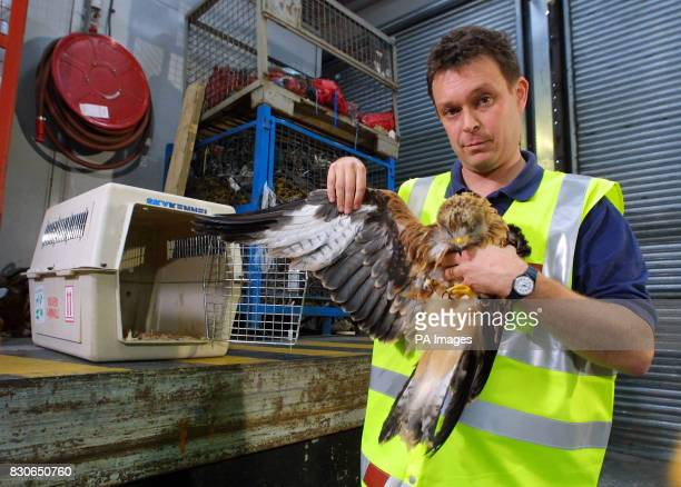 Royal Society of the Protection of Birds handler Duncan OrrEwing with one of the 13 Red Kite chicks at Glasgow Airport flown in from Germany to be...