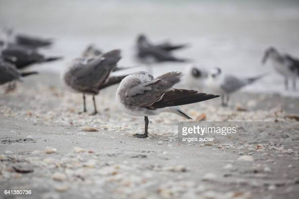 Royal Tern birds on Sanibel Island, Florida