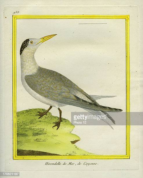 Royal Tern Thalasseus maximusRoyal TernGeorgesLouis Leclerc Comte of Buffon 'Natural History of birds fish insects and reptiles' coloured and...