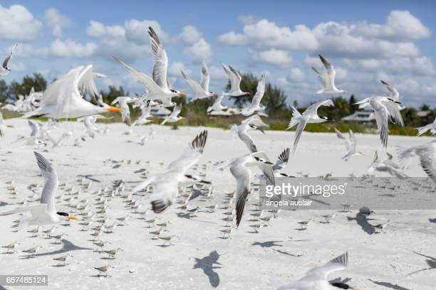Royal Terns and Peeps in Sanibel, Florida