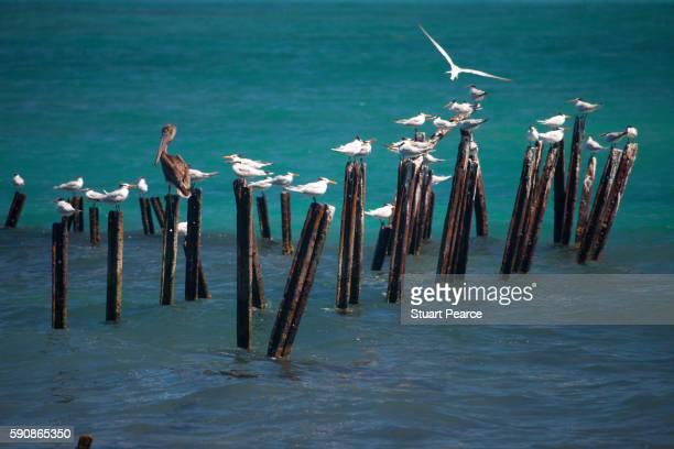 Royal Terns in Cahuita National Park, Costa Rica