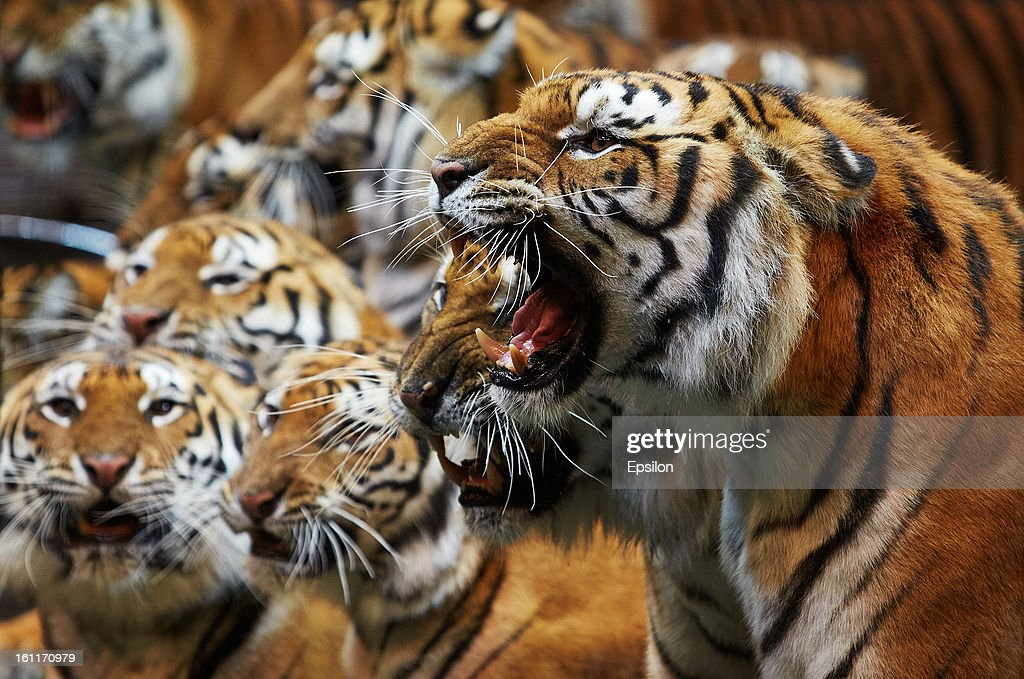 Royal tigers led by trainer Nikolai Pavlenko perform during the circus on February 09, 2013 in Sochi, Russia.