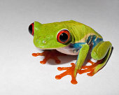 Rozen the Red Eyed Tree Frog