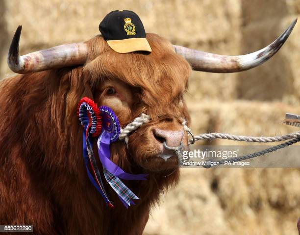 Ruaridh of Ubhaidh the Highland bull owned by the Balmoral Estate after it won male and overall Highland Cattle champion at the Royal Highland Show...