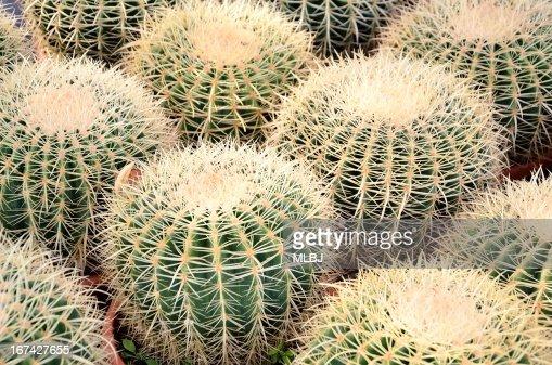 Rubber plant : Stock Photo