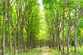 Rubber plantation and forest of Chanthaburi Thailand