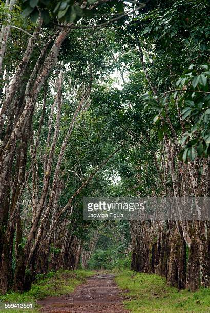 Rubber plantation in Liberia, West Africa.
