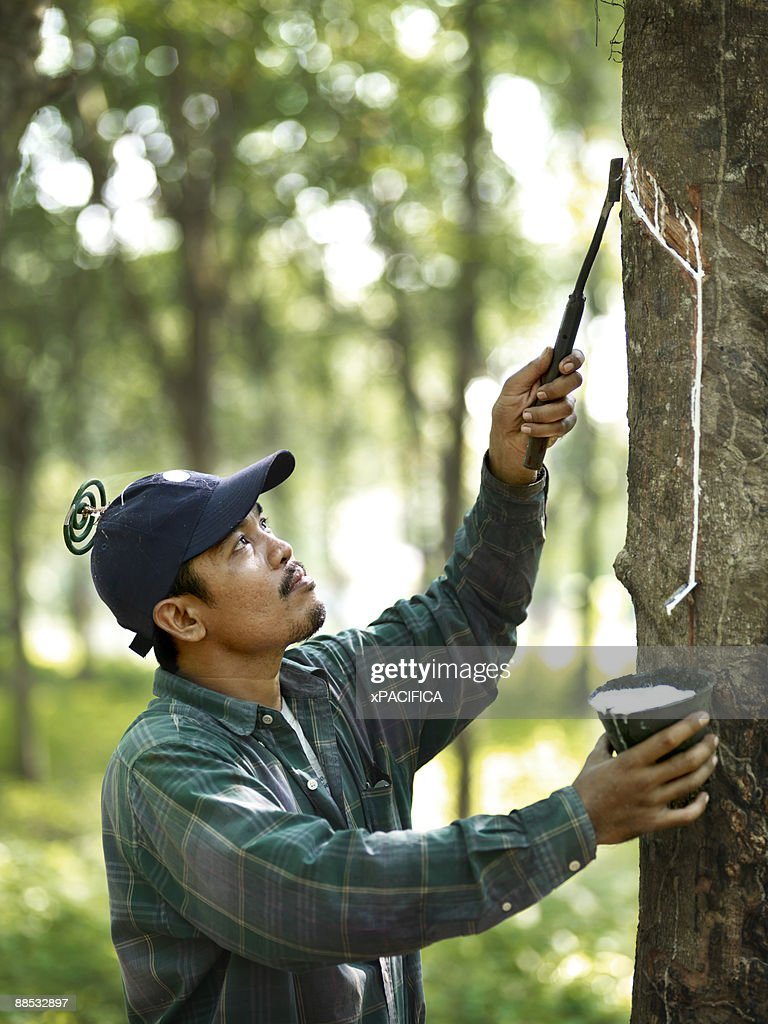 A rubber tapper working in on a rubber plantation. : Stock Photo