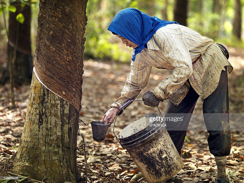 Rubber tappers collecting natural rubber/ latex. : Stock Photo