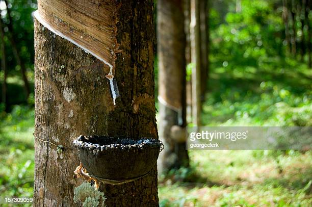Rubber Tapping Rows