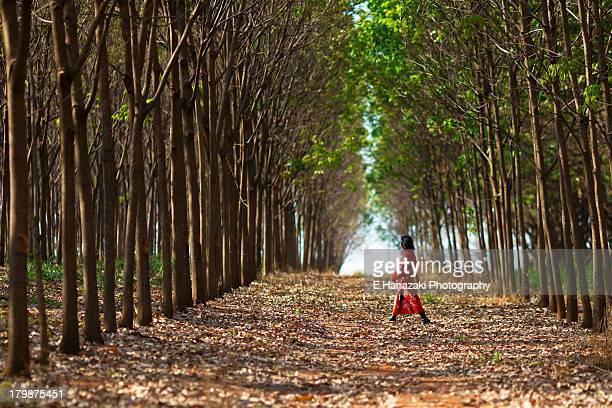 Rubber tree - Hevea brasiliensis