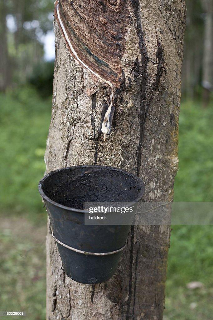 Rubber tree : Bildbanksbilder