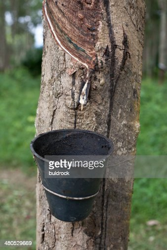 Rubber tree : Bildbanksbilder