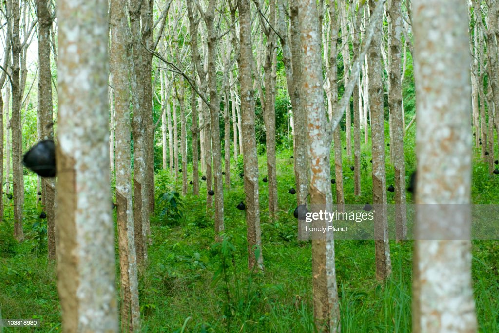 Rubber trees. : Stock Photo
