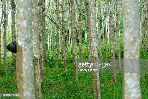 Rubber trees. : Stock Photo