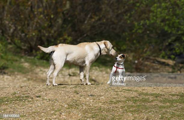 Two dogs meeting Jack Russell terrier and golden labrador
