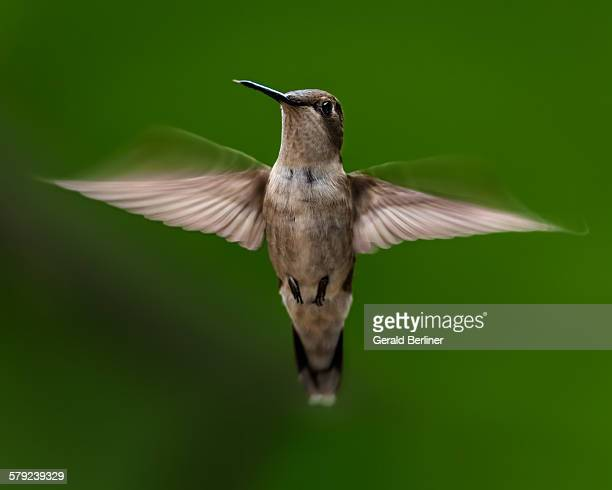 Ruby Throated Humming Bird