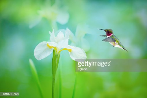 Ruby Throated Hummingbird and White Iris