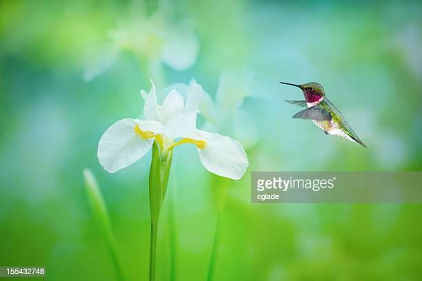 Ruby-Throated Kolibri und Weiß Iris