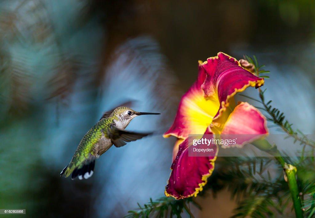 Throated Beija-flor. : Foto de stock