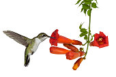 ruby throated hummingbird sips nectar from a trumpet vine